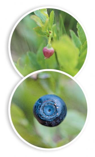 Blaubee Blüte und Frucht