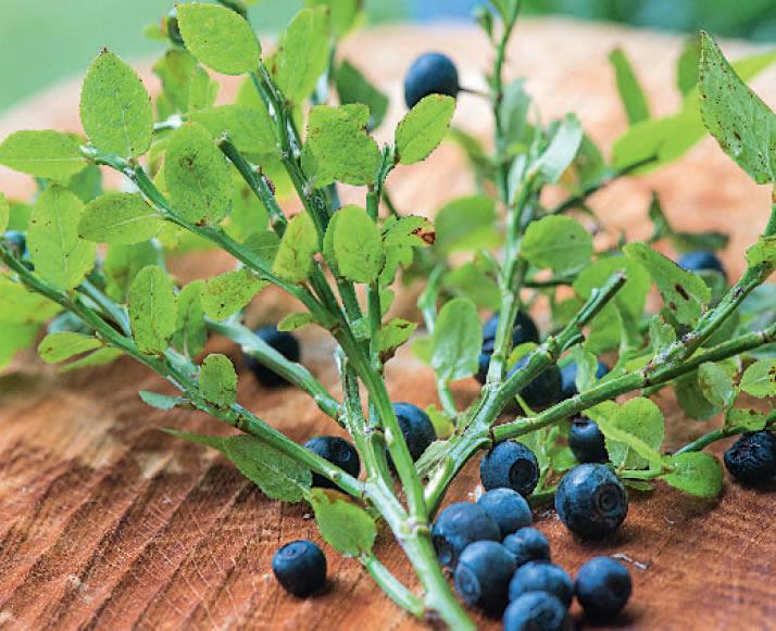Blaubeer-Zweig mit Früchten