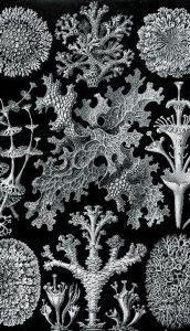 Zeichnung von Flechten-Lichenes von Ernst Haeckel